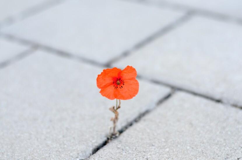 Poppy growing between cracks