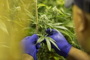 legal medical marijuana plant