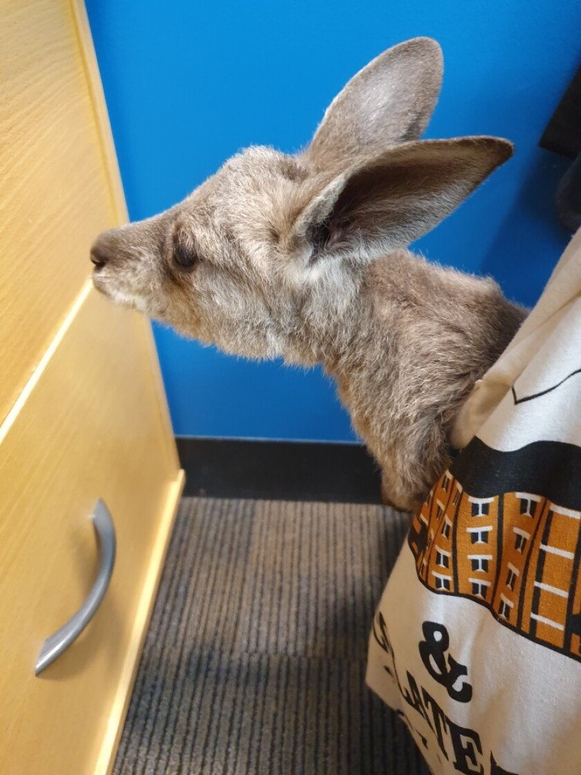 A Horizon Credit Union employee brought a rescued joey (baby kangaroo) to the branch after the wildfires
