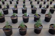 marijuana-bl-061119