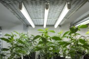 Marijuana growing facility